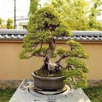 苗木常用的7种造型方法
